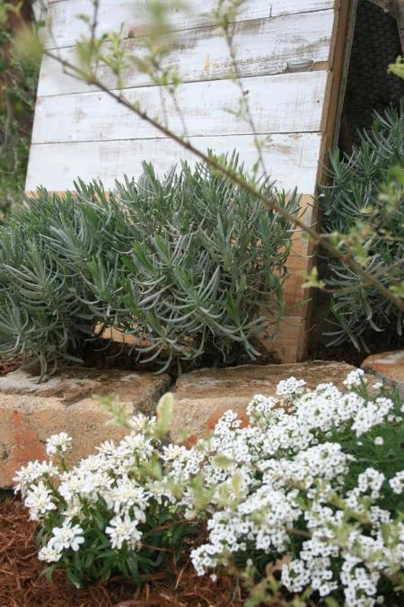 4月の庭のスーパーアリッサム画像