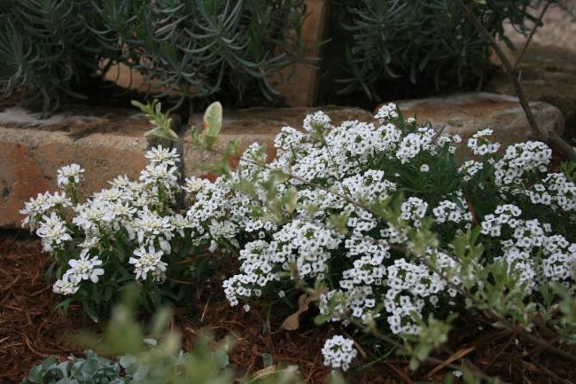 アリッサムの花の画像