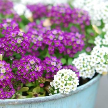 スイートアリッサムの花の画像