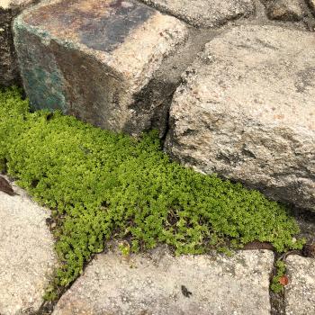 モリムラ万年草が生えている画像