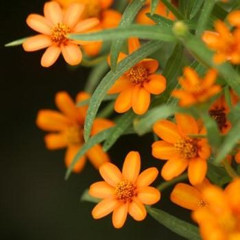 ジニアの花画像