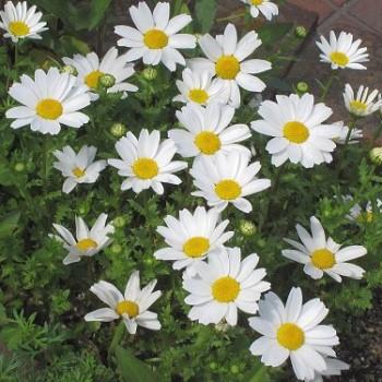 クリサンセマム・ノースポールの花の画像