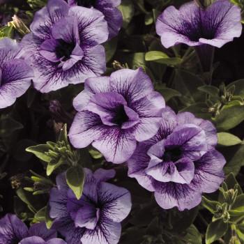 ペチュニアの花画像