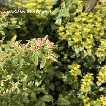 宿根草の花が咲いた画像