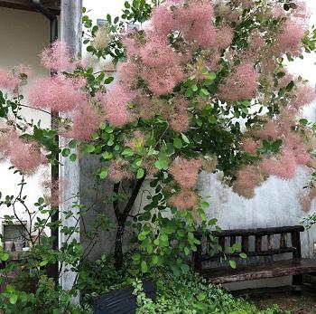 スモークツリーの花の満開の画像