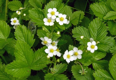 ワイルドストロベリーの花画像