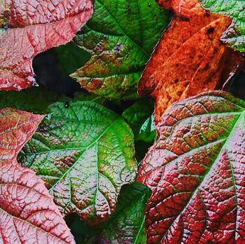カシワバアジサイの紅葉の画像