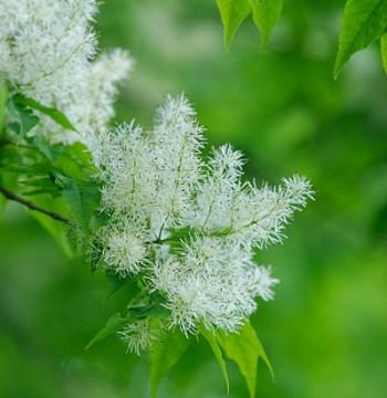 アオダモの花の画像