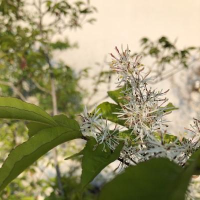 アオダモの葉の画像