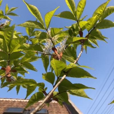 我が家の両花性のアオダモのの画像