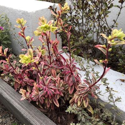ユーフォルビア・フロステッドフレームの花茎を伸ばした画像