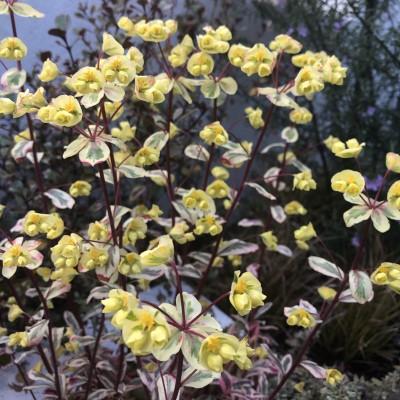 ユーフォルビア・フロステッドフレームの花の画像