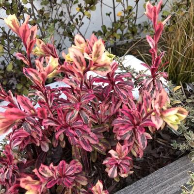 ユーフォルビア・フロステッドフレームの花茎が伸びた画像