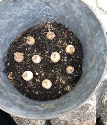 球根を鉢に並べた画像