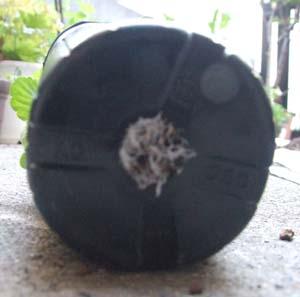 ビオラの根が鉢底から出ている画像