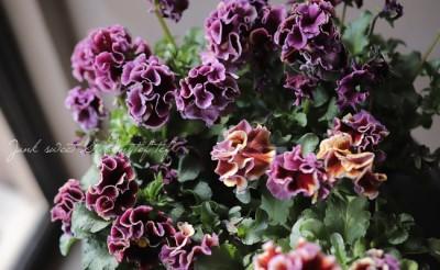 ビオラドラキュラの花の画像