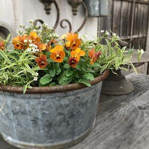 テラコッタ色の我が家のビオラの寄せ植えの画像