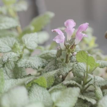 ラミウム・マクラツム『ビーコンシルバー』のピンクパープルの花の画像