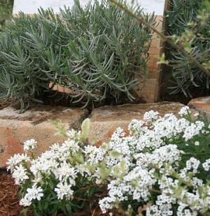 春の地植えのスーパーアリッサムの画像