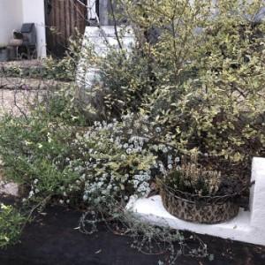 冬にも咲くスーパーアリッサムの画像