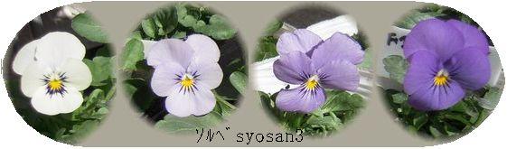 ビオラ・ソルベYTTの花色の変化の画像