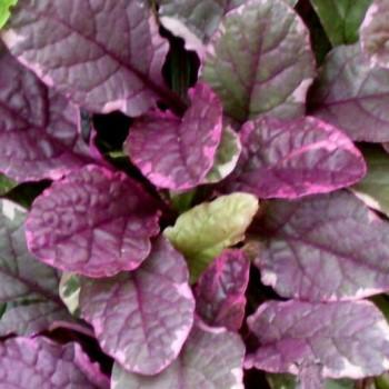 アジュガの葉の画像