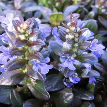 アジュガの花の画像