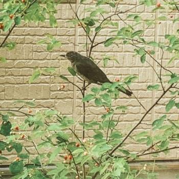 ジューンベリーの木に鳥がいる画像