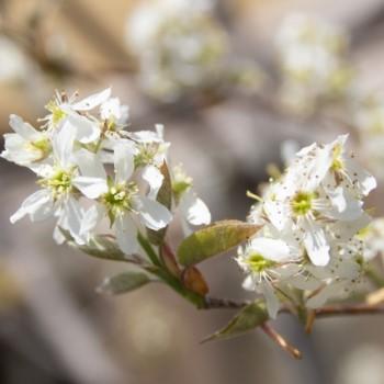 ジューンベリーの花の画像