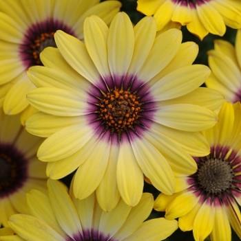 オステオスペルマムの花の画像