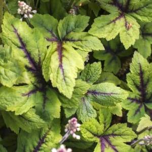ティアレアの葉の画像