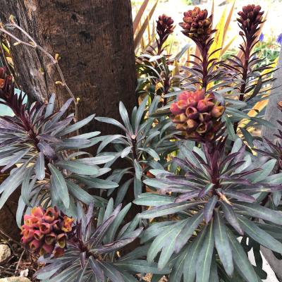 ユーフォルビア・ブラックバードの花の画像4