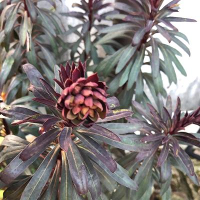ユーフォルビア・ブラックバードの花の画像3
