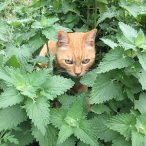 キャットミント(ネペタ)と猫の画像