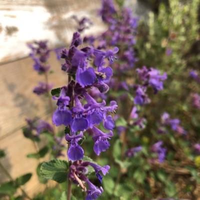 キャットミント(ネペタ)の花の画像