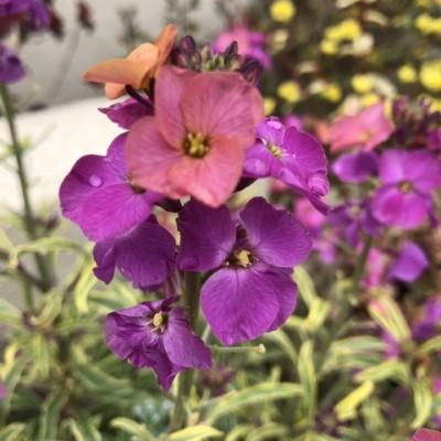 エリシマム・コッツウォルドジェム(コォッウォールドゼム)の花の画像