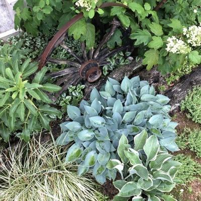 我が家の庭のギボウシ(ホスタ)の画像