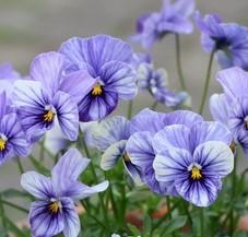 ライジングアイスの花の画像