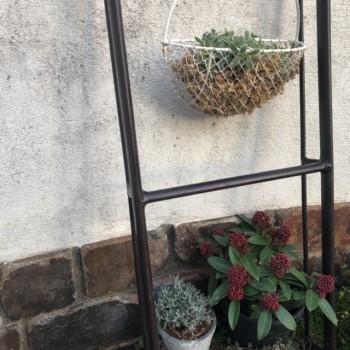 我が家の鉢植えのスキミアの画像