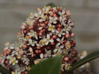 スキミアの花の画像