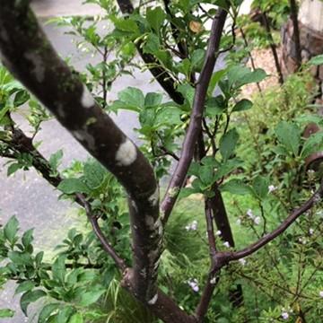 エゴノキの樹皮の画像