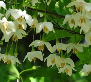 エゴノキの花の画像