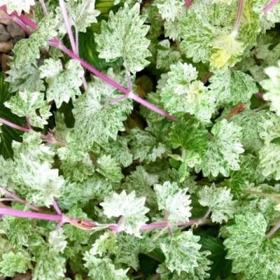 斑入りグレグレコマ ライムライト(レッドステム)の春の茎の画像