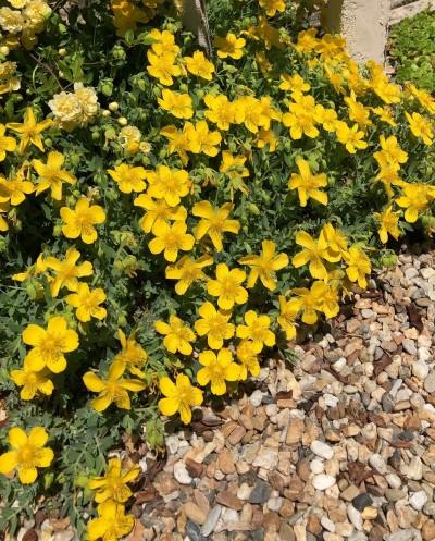 ヒペリカム シルバーナの花の画像