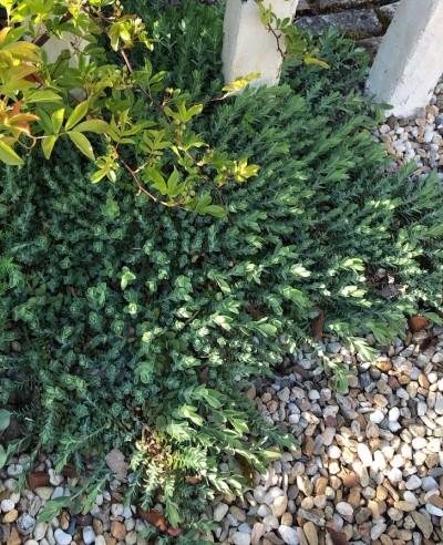 ヒペリカム シルバーナの葉の画像