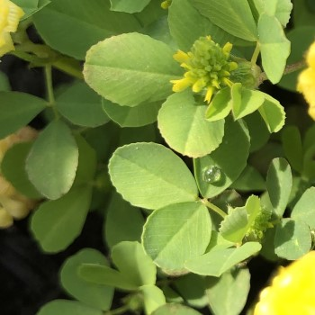 クスダマツメクサの葉の画像