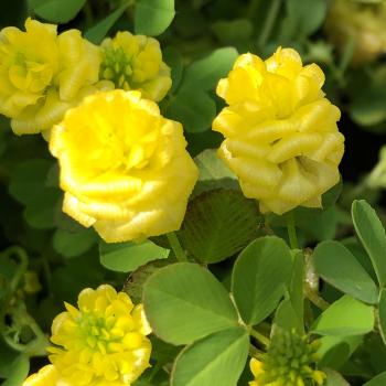クスダマツメクサの花の画像