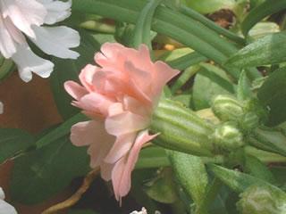 シレネ ペンジュラ 'ピーチブロッサム'の花の画像