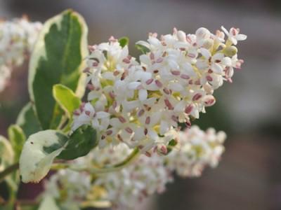 シルバープリペットの花の画像
