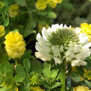 クスダマツメクサの花とシロツメクサの花の比較画像